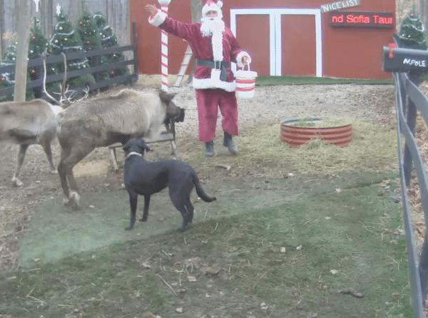Live Reindeer feeding