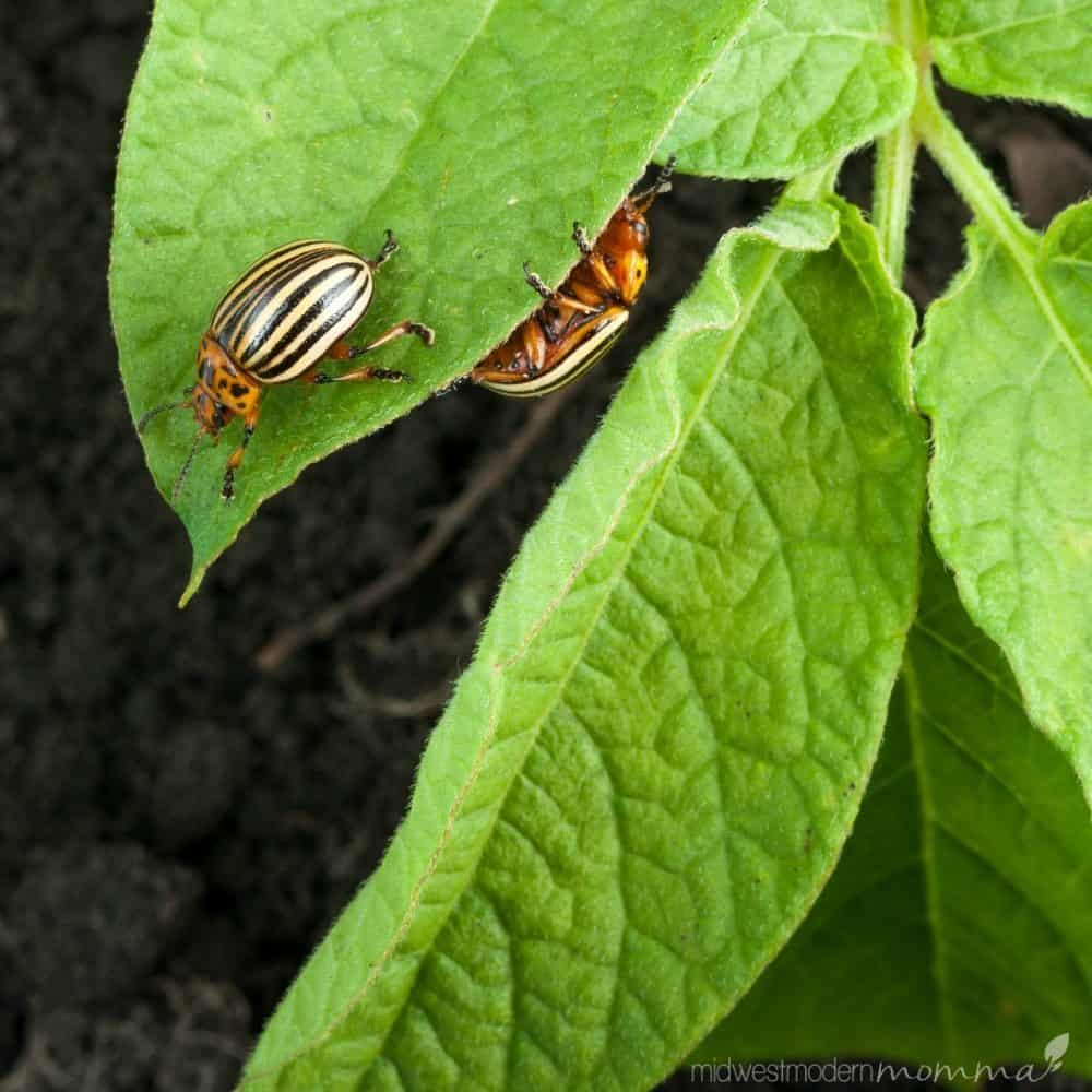 7 Natural Vegetable Garden Pest Deterrents